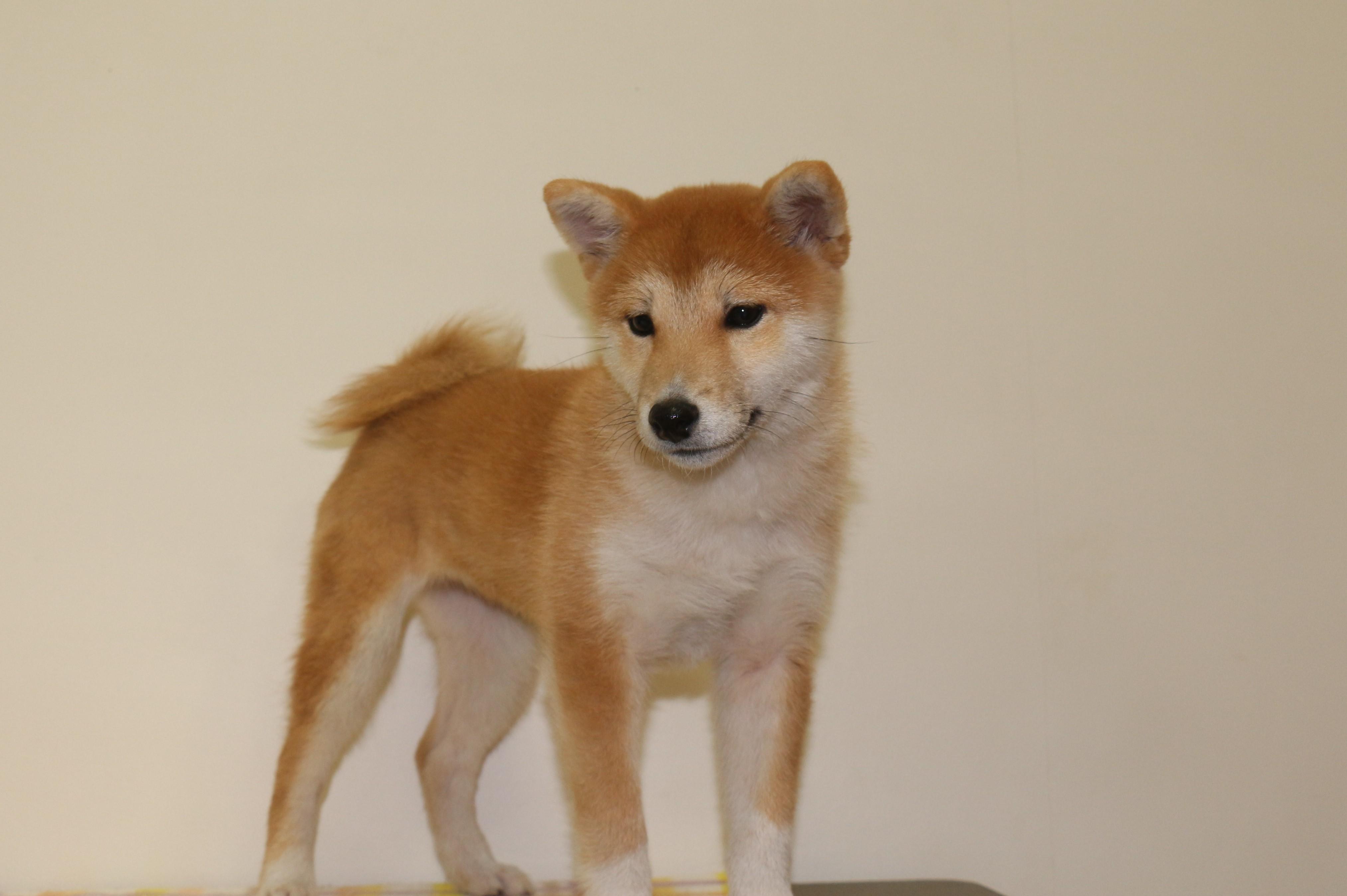 柴犬の画像2