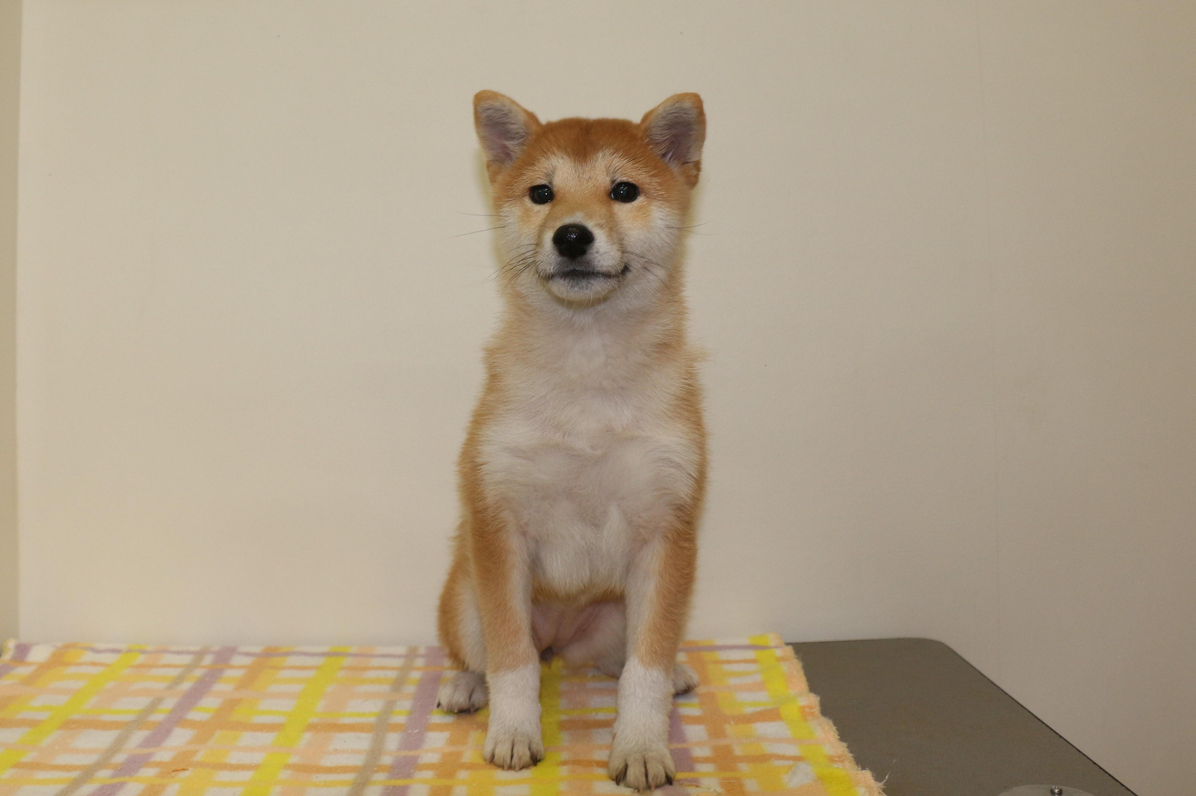 柴犬の画像1